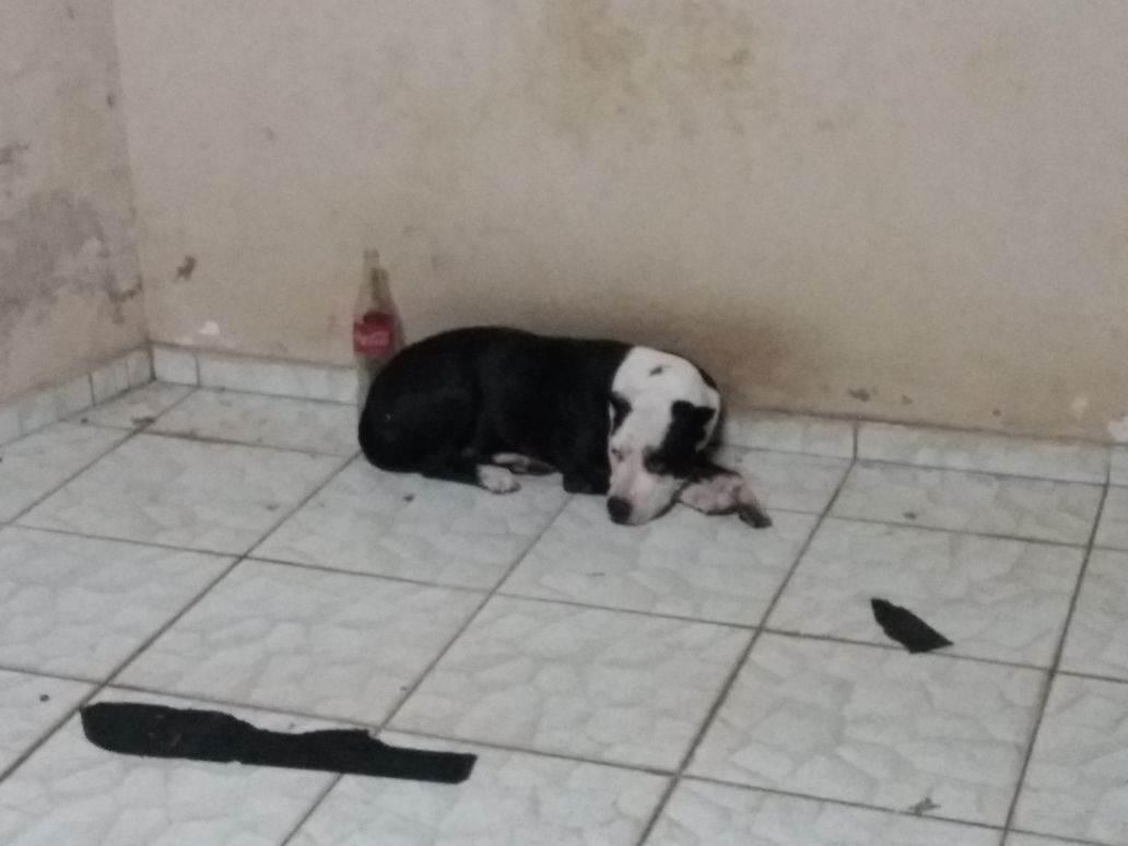 Pit bull resgatada pela polícia não seria sacrificada pelo Centro de Zoonoses, diz SMS   Foto: Reprodução/ WhatsApp
