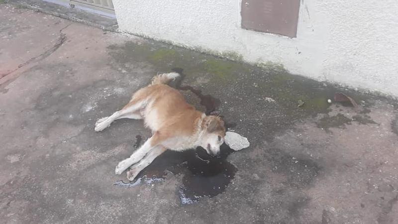 Dema investiga morte a pedradas de cachorro no Setor Pedro Ludovico | Foto: Reprodução