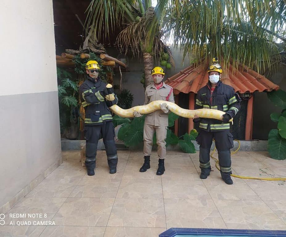 Cobra exótica de 2 metros é capturada em quintal de casa no Aeroporto Sul, em Aparecida | Foto: Divulgação / CBMGO